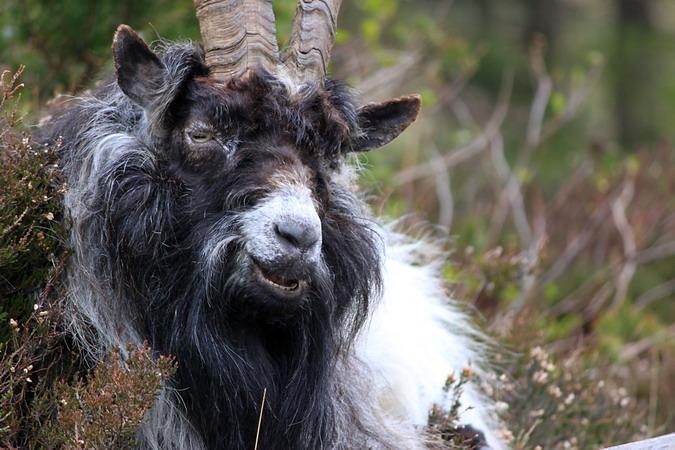 Kashmir Goat, Pont Pen-y-benglog