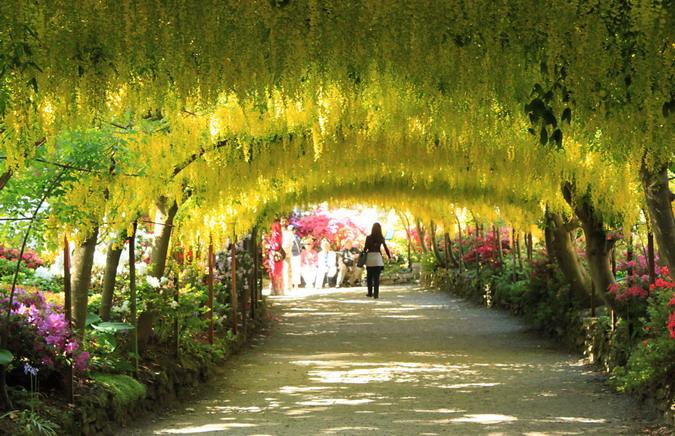 Laburnum Arch, Bodant Garden