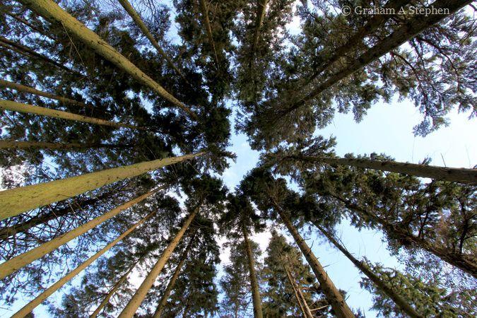Meillionen, Beddgelert Forest