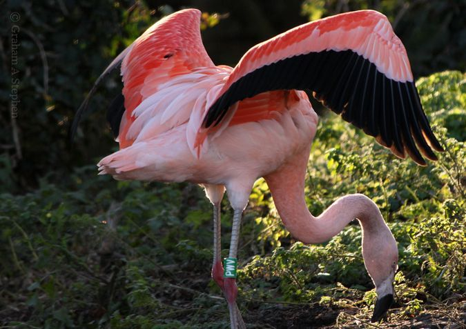 Chilean Flamingo, Welsh Mountain Zoo