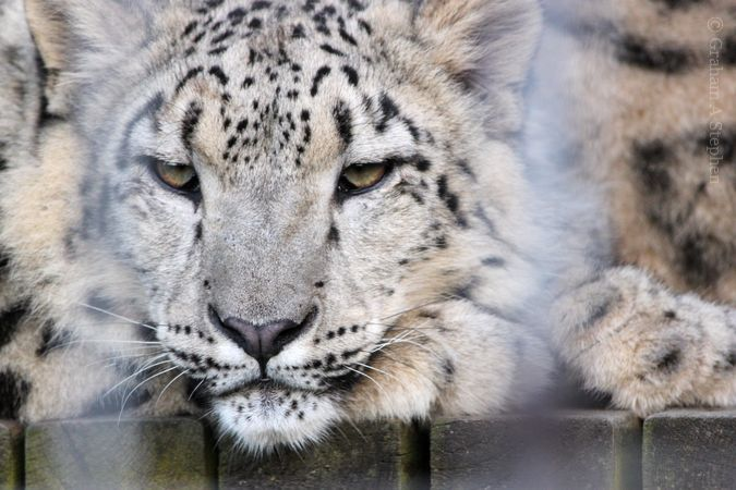 Snow Leopard, Welsh Mountain Zoo