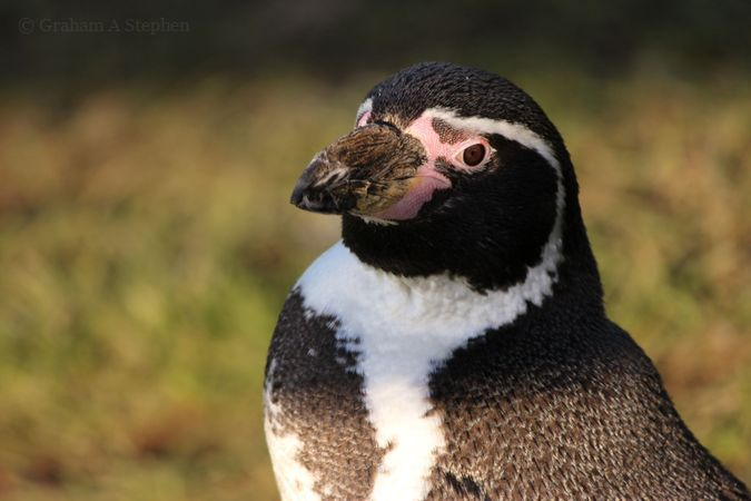 Humboldt Penguin, Welsh Mountain Zoo
