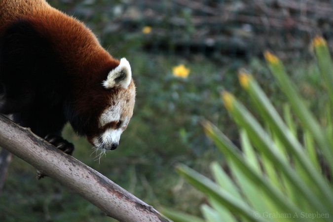 Red Panda, Welsh Mountain Zoo