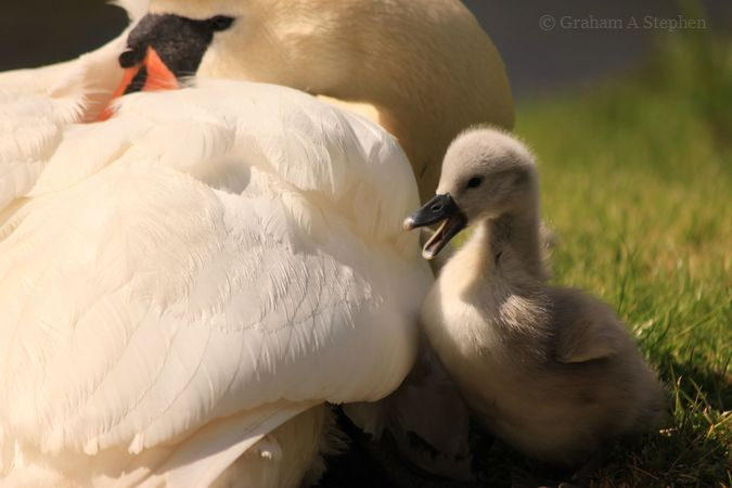 Mute Swan pen and cygnet