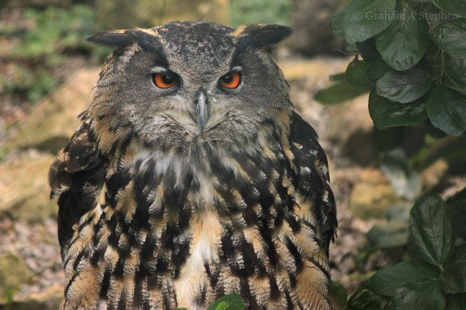 Eagle Owl, Bodafon Farm Park