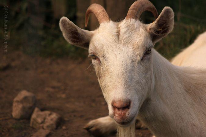 Goat, Bodafon Farm Park