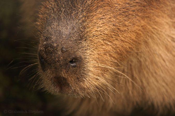 Capybara, Conwy Water Gardens